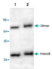 PAB8754 - HDAC8