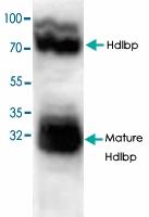 PAB8757 - Vigilin / HDLBP