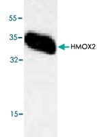 PAB8761 - Heme oxygenase 2 (HMOX2)