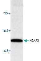 PAB8764 - Histone H2A.x