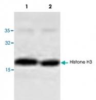 PAB8767 - Histone H3