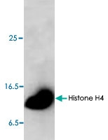 PAB8768 - Histone H4