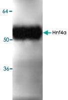 PAB8769 - HNF4 alpha / TCF14