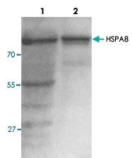 PAB8771 - HSPA8 / HSC70