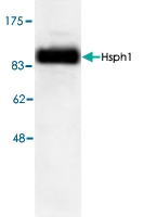PAB8773 - Heat shock protein 105 / HSP105