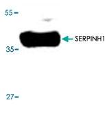 PAB8774 - SERPINH1 / HSP47