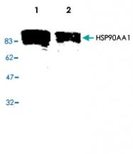 PAB8776 - HSP90AA1 / HSP90 alpha