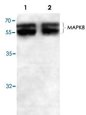 PAB8795 - MAPK8 / JNK1