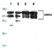 PAB8800 - Lamin-A/C (LMNA)