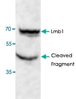 PAB8801 - Lamin-B1 (LMNB1)