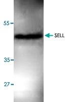 PAB8813 - CD62L / L-Selectin
