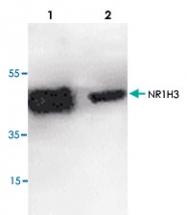 PAB8814 - NR1H3