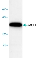 PAB8824 - MCL1