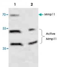 PAB8843 - MMP-11