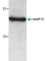 PAB8845 - MMP-12
