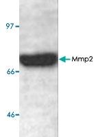 PAB8848 - MMP-2