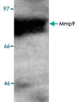 PAB8850 - MMP-9