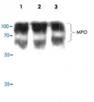 PAB8858 - Myeloperoxidase