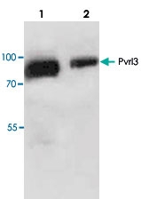 PAB8862 - CD113 / Nectin 3