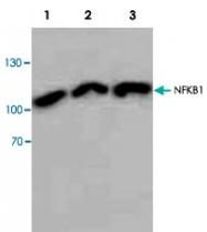 PAB8865 - NF-kB p105 / p50