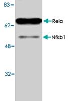 PAB8867 - RELA / NF-kB p65