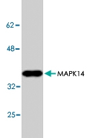 PAB8882 - MAP kinase p38 alpha / MAPK14