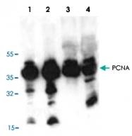 PAB8896 - PCNA