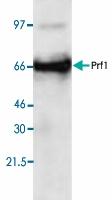 PAB8899 - Perforin 1 / PRF1