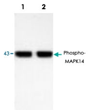 PAB8911 - MAP kinase p38 alpha / MAPK14