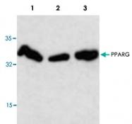 PAB8936 - PPAR-gamma