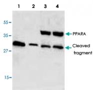 PAB8937 - PPAR-alpha