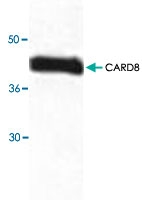 PAB9067 - CARD8 / NDPP1