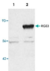 PAB9098 - RGS3