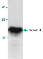 PAB9100 - Protein A
