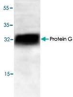 PAB9101 - Protein G