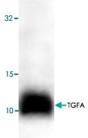 PAB9110 - TGF-alpha (TGFA)