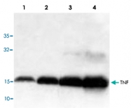 PAB9115 - Tumor necrosis factor (TNF-alpha)