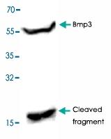 PAB9480 - BMP3