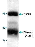 PAB9490 - Caspase-9