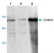 PAB9492 - CD154 / CD40L