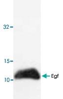 PAB9514 - EGF