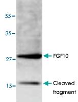 PAB9516 - FGF10