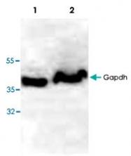PAB9519 - GAPDH