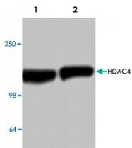 PAB9522 - HDAC4