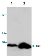 PAB9527 - Insulin-like growth factor I / IGF1