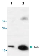 PAB9545 - Leptin