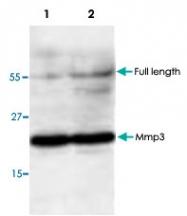 PAB9549 - MMP-3