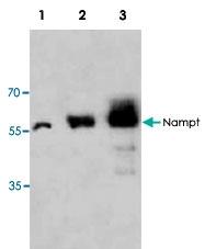 PAB9553 - Visfatin / NAMPT