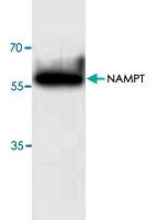PAB9555 - Visfatin / NAMPT