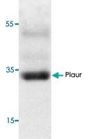 PAB9560 - CD87 / uPAR